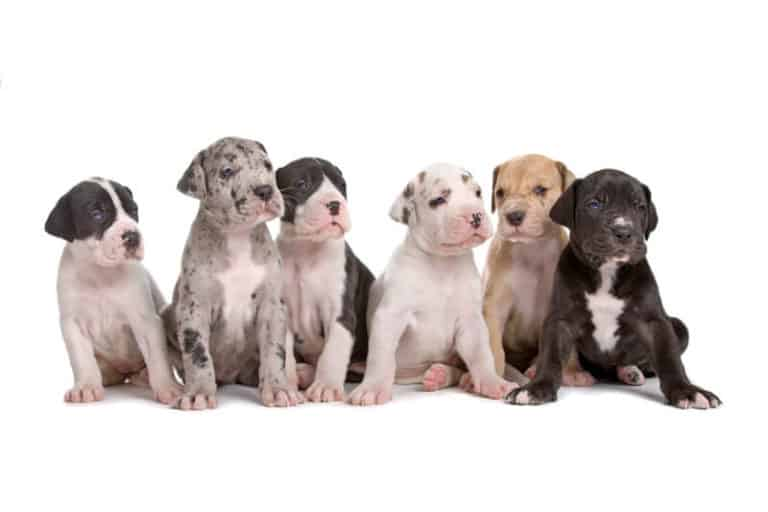 Official Great Dane breed colors.