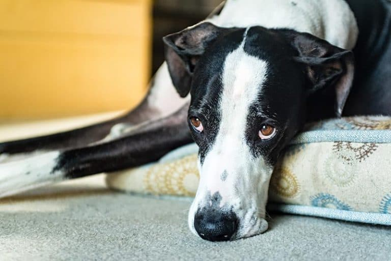 Learn how to prevent bloat in Great Danes.