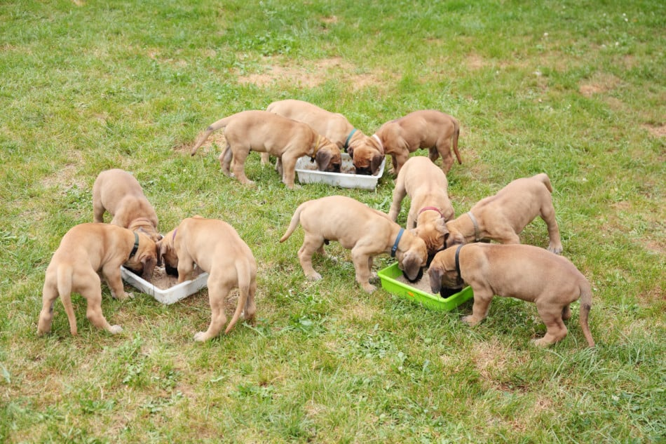 The Cost Of Owning A Great Dane A Helpful Guide Great Dane Care