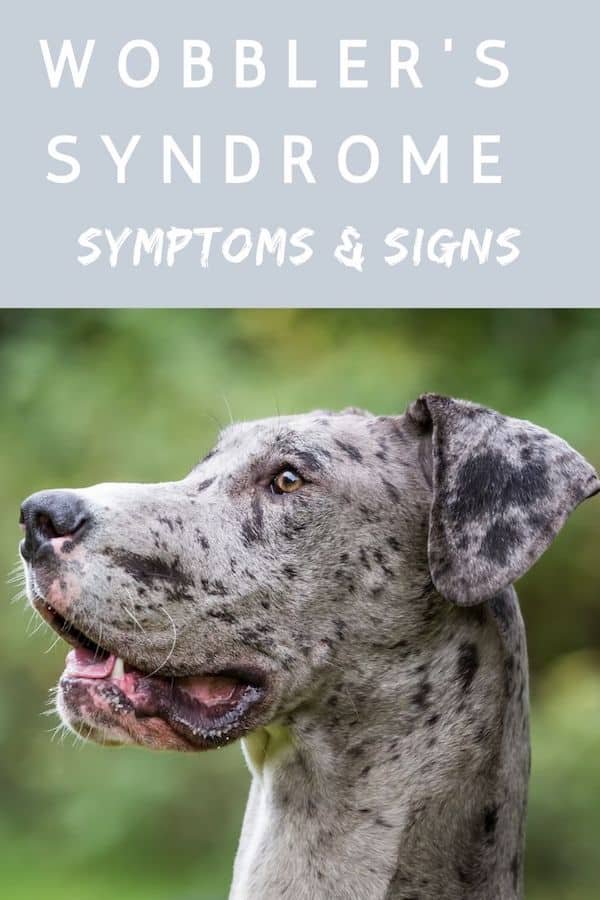 Wobbler S Syndrome A Helpful Guide For Great Dane Owners