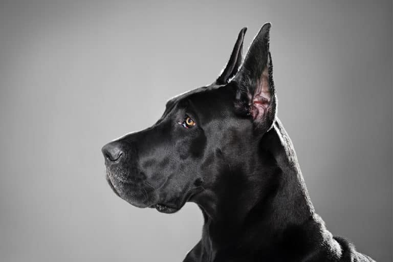 Great Dane ear cropping