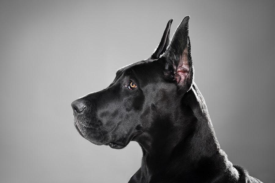 Great Dane ear cropping