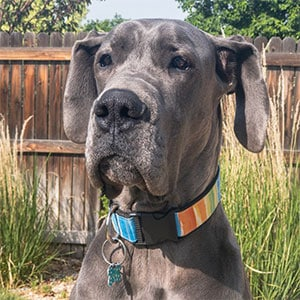 Gus, the Great Dane who inspired this site to be created!