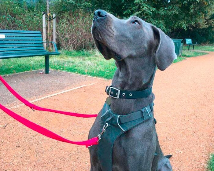 Great Dane training