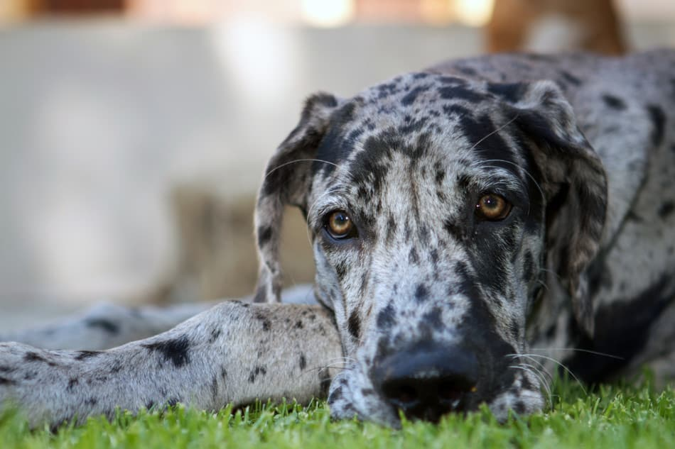 What Is A Merle Great Dane How To