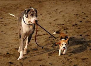 Great Dane leading small dog on leash.
