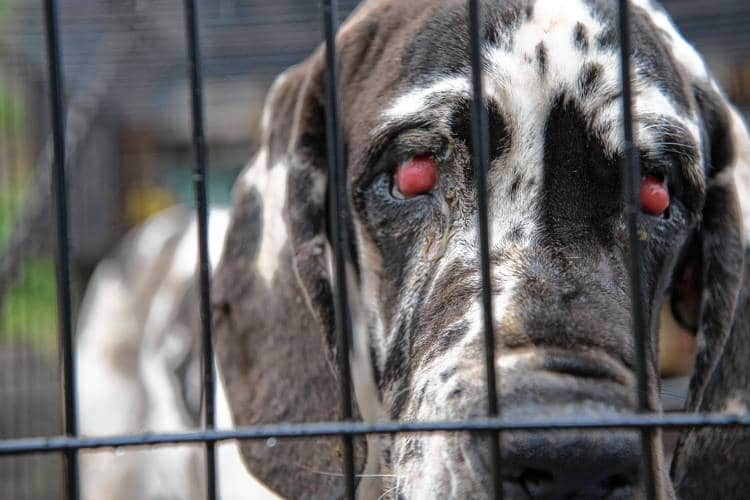Great Dane with cherry eye