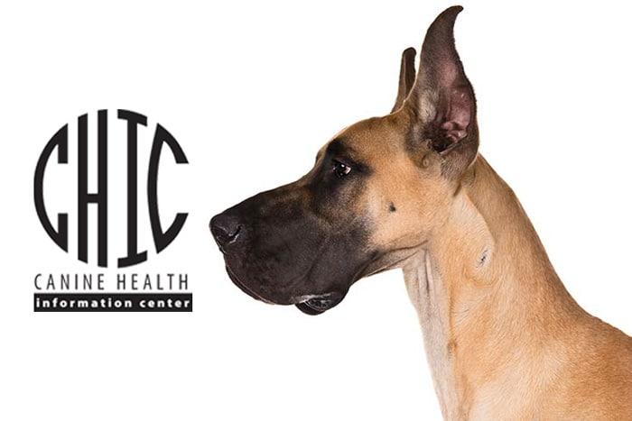 Great Dane staring at OFA CHIC logo.