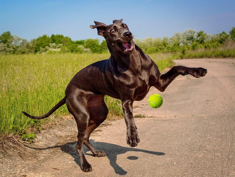 great dane chasing tennis ball