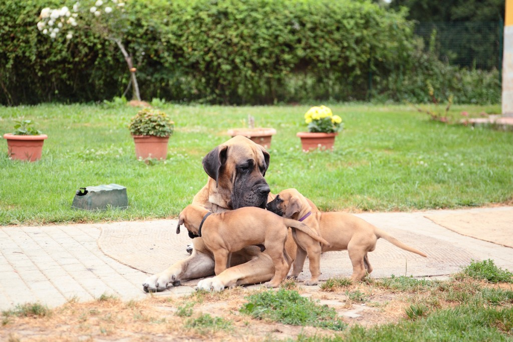 Is My Great Dane Pregnant Great Dane Care