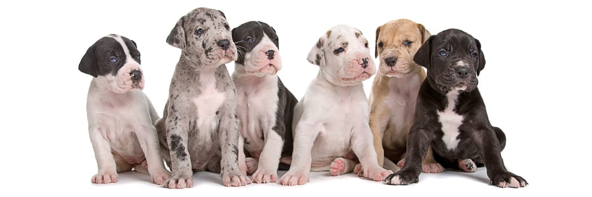 Find Great Dane Breeders Near You Complete List By State