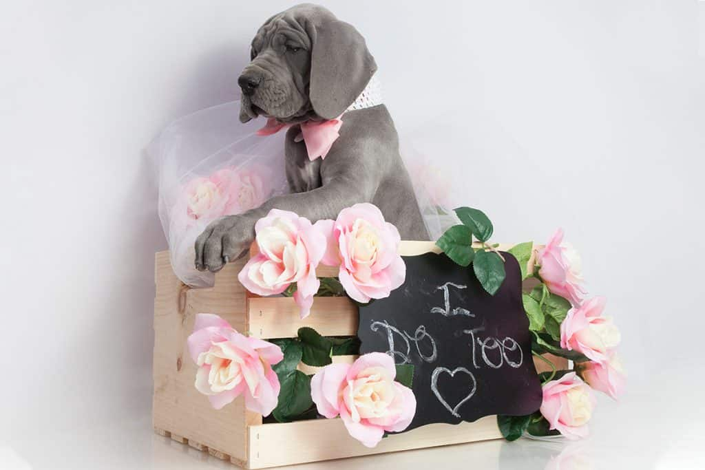 great dane sitting in box with sign on it