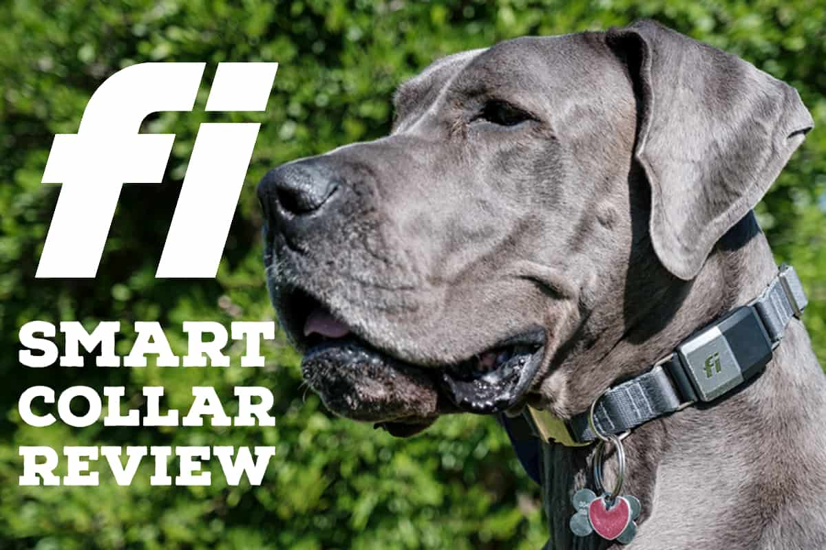 Great Dane wearing Fi smart dog collar.