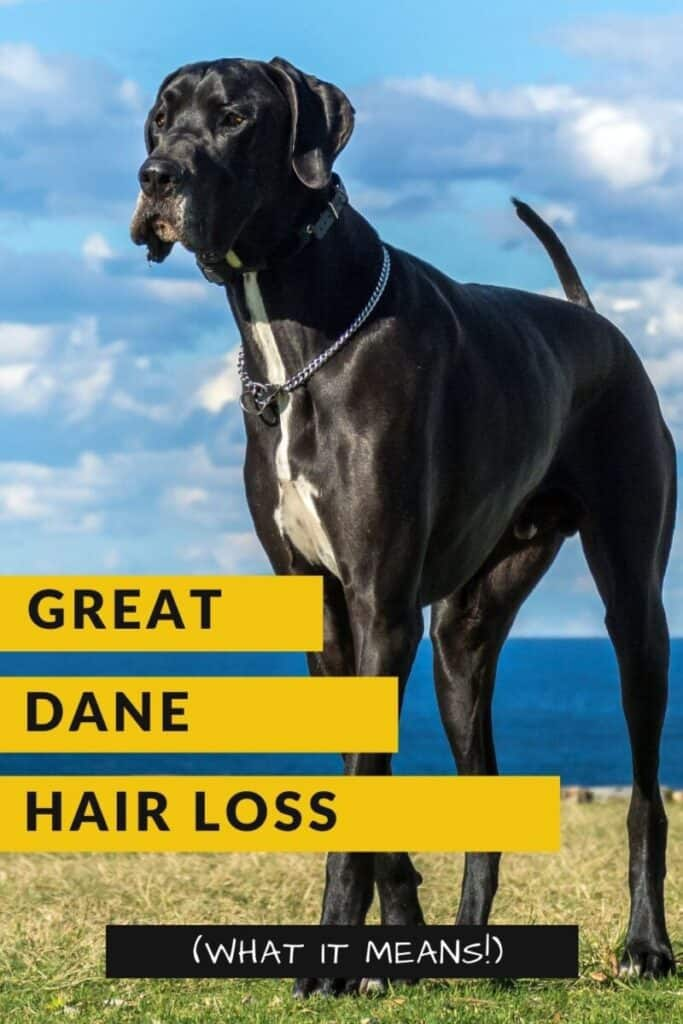 8 Common Reasons For Great Dane Hair Loss