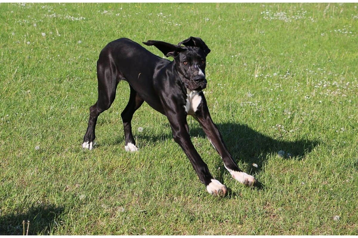 black great dane with white markings on the chest and paws