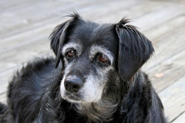 close-up of old dog with white face