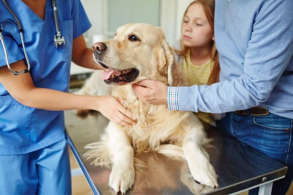 golden retriever on veterinarian table